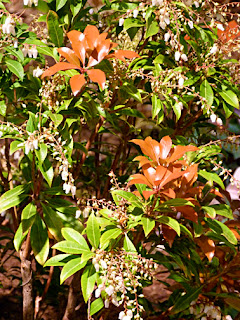 pieris japonica new red leaves