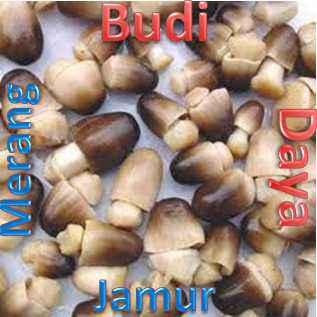 Budidaya_Jamur_Merang