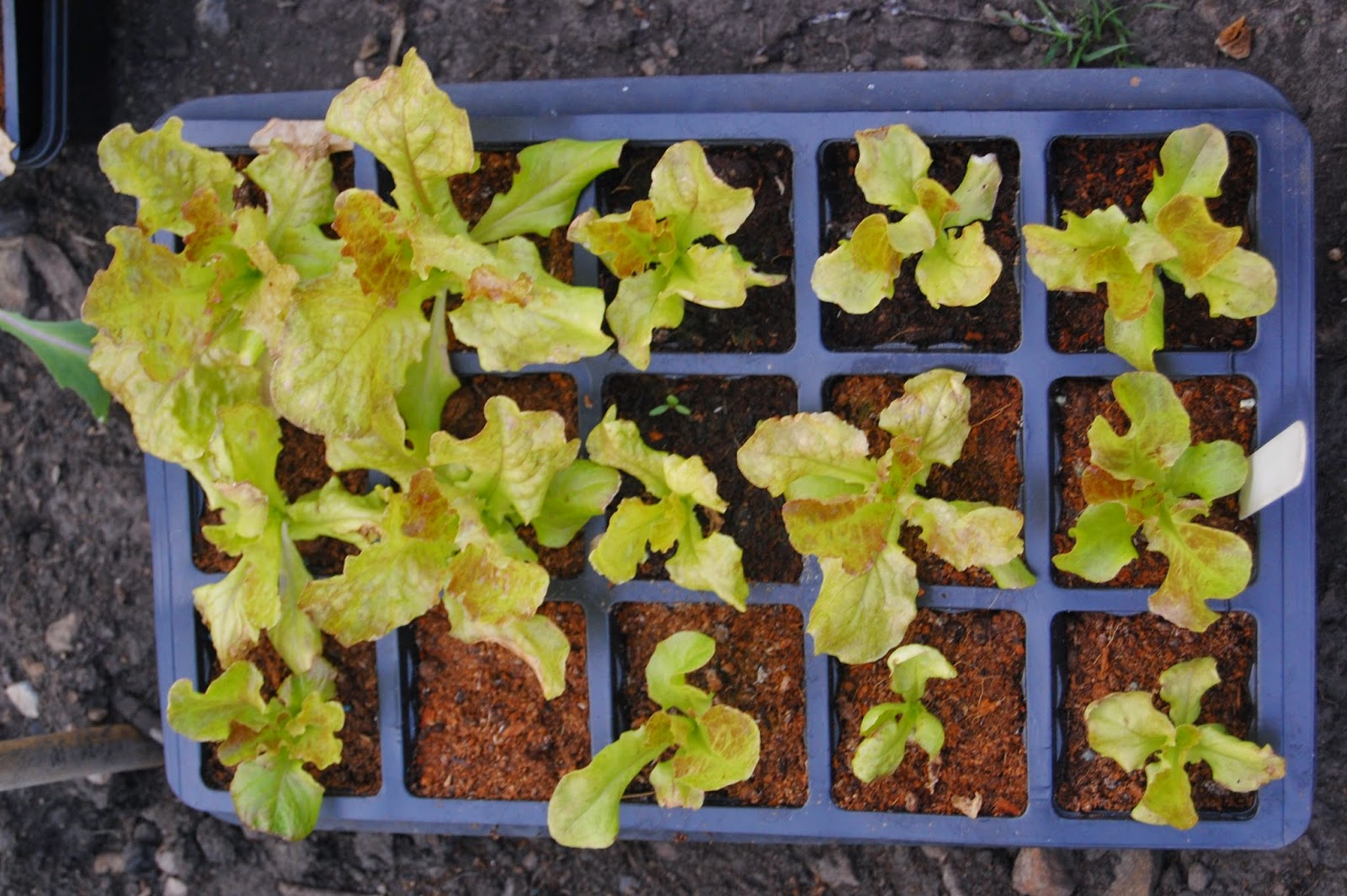 Lettuce in a seed tray #lifeonpigrow