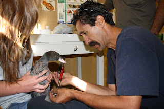 Whio ranger Bubs Smith checks over a whio before its release