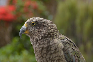 Kea at Arthur's Pass in New Zealand