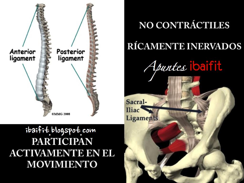 CONOCE TU ESPALDA PARA EMPEZAR A CUIDARTE: ligamentos de la columna ...