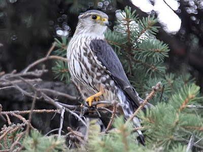 Merlin Falcon Male