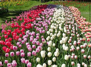 tulipas em diversas cores