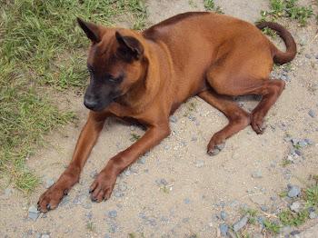 Red Thai Ridgeback Pup