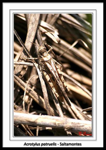 Acrididae-Acrotylus_patruelis-Saltamontes_de_alas_rosas-Vicente_Riera_Peiro