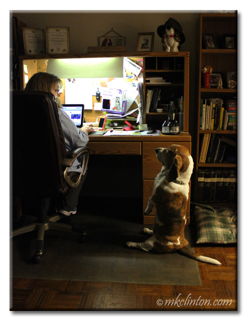 Bentley Basset sitting up in front of desk where lady is working