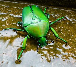 fab beetle?