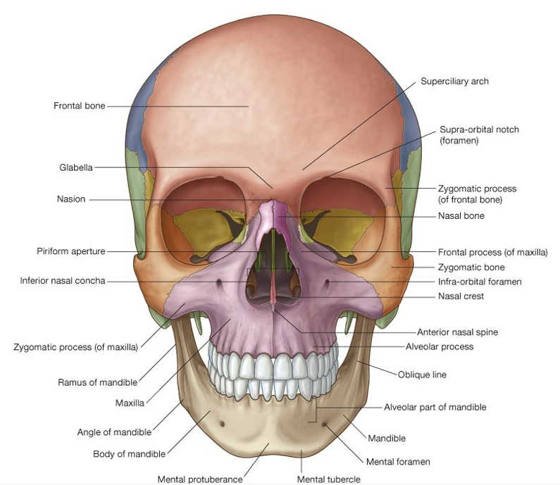 Skull Anterior View Med Club