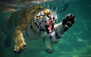 Tiger swims underwater
