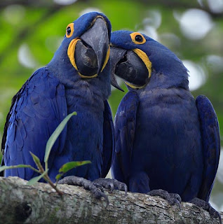 Hyacinth Macaws pictures