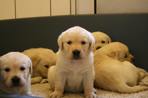 Goldens Retrievers Lab Golden Retriever Puppies