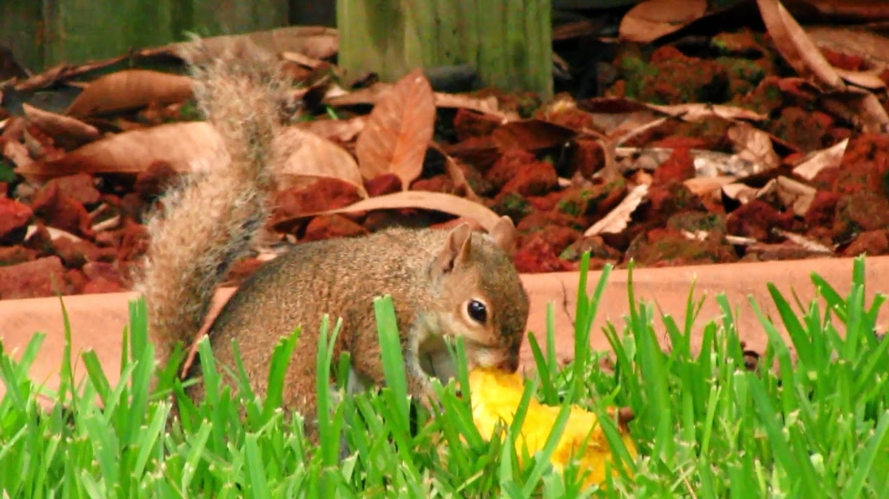 Squirrel Eating Mango