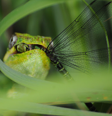 Knight Anole with Regal Darner (Coryphaeschna ingens)