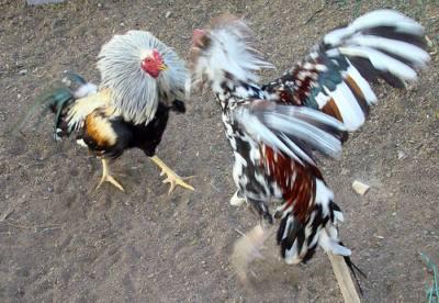 El gallo de pelea invencible