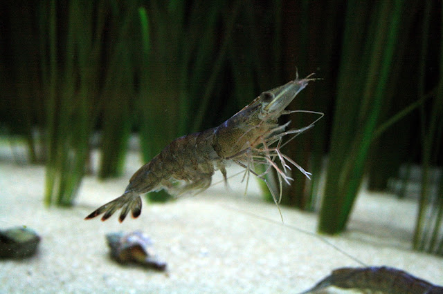 http://advocate.gaalliance.org/natural-feed-additive-improves-shrimp-productivity/