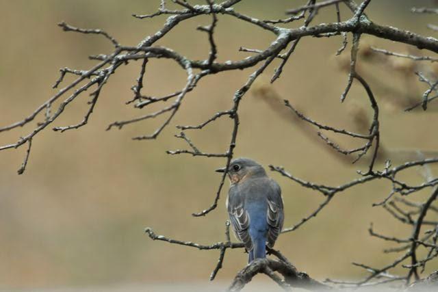 female bluebird surveying her world