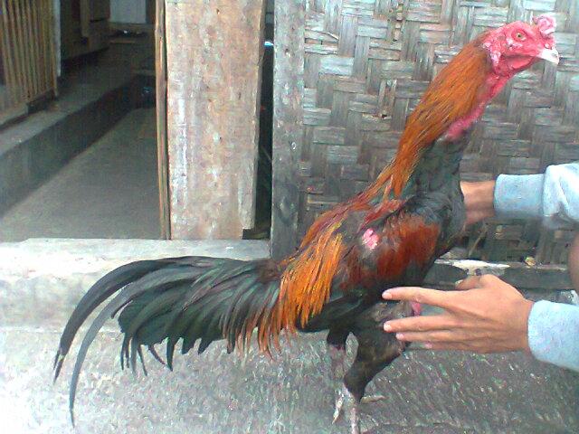 ayam bangkok import ayam bangkoklokal anakan ayam bangkok ayam bangkok ...