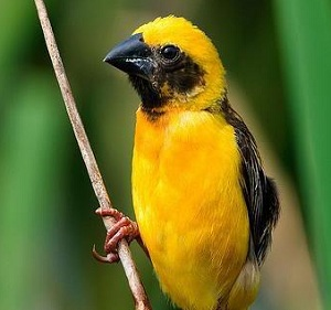 cara merawat burung manyar burung kicau nusantara
