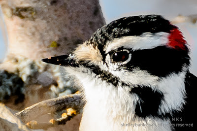 Male Downy Woodpecker with red flash; photo © Shelley Banks, all rights reserved