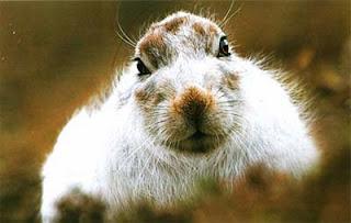 Горный заяц, Шотландия
