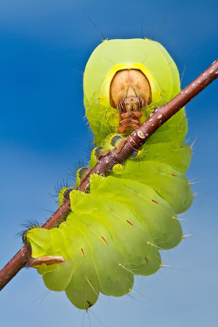 how to know what type of caterpillar you have