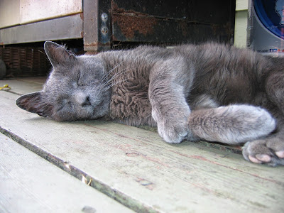 napping Russian blue cat in the summer sun