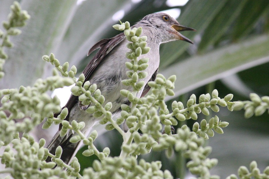 florida state bird mockingbird baby