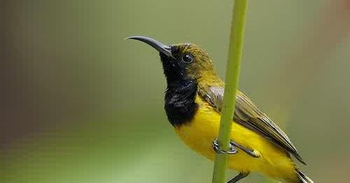 inilah kumpulan jenis burung madu kolibri yang patut