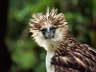 Philippine Eagle images