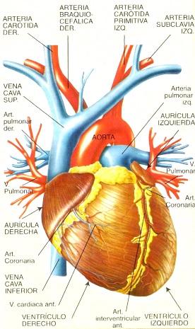 Dibujo del corazón del cuerpo humano indicando sus partes