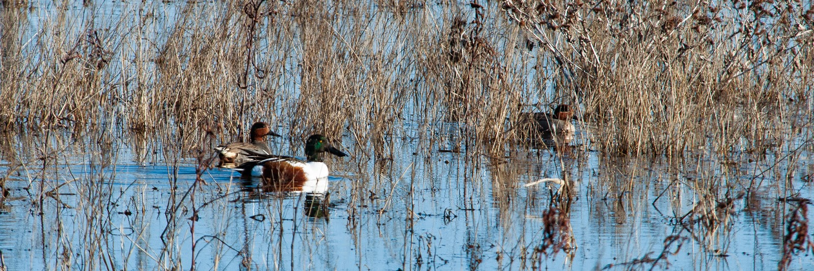 Northern Shoveler and Green-winged Teal, Village Creek Drying Beds