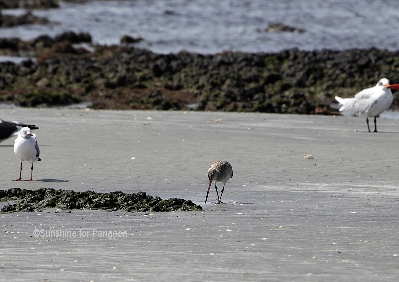 Bare tailed Godwit in Gambia