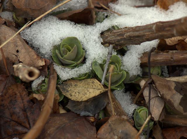 Hylotelelphium 'Matrona'