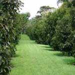 Mangostão, mangostin ou mangosteen