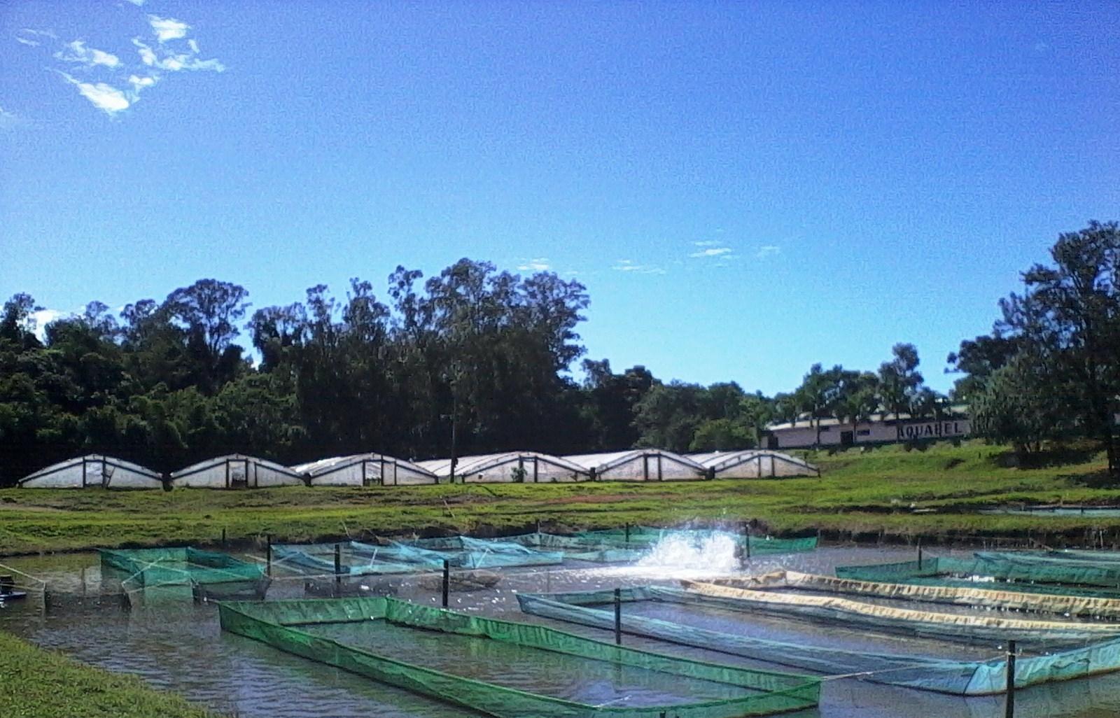 Cria peixe tilapicultura alevinos de til pia for Cria de tilapia
