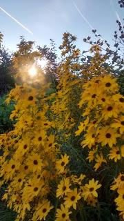 Penn State Arboretum sunflowers