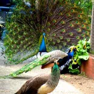 Passionate Peacock