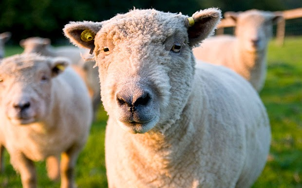Estudante fez sexo com ovelha