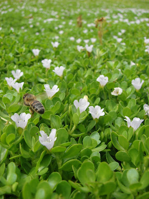 Brahmi (Bacopa Monnieri) Overview, Health Benefits, Side effects