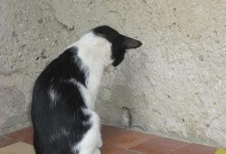 gato acorrala a un ratón cat & mouse