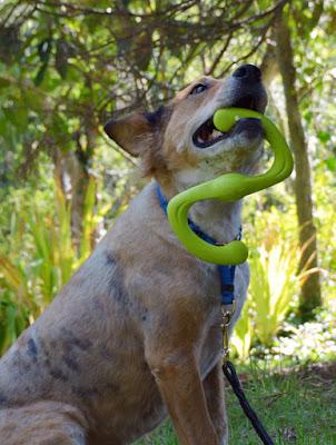 Brisbane holds the Bumi dog toy