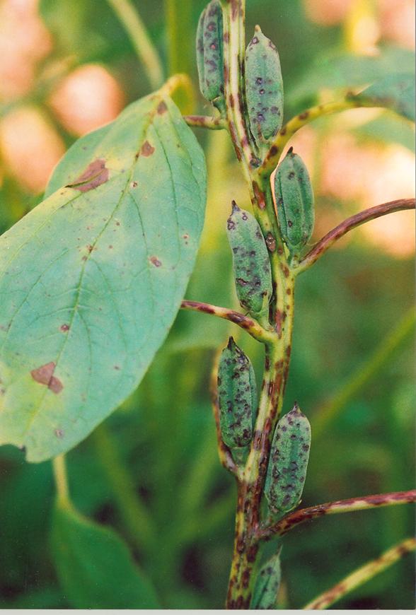 agriculture  sesamum disease photo gallery