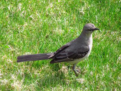 northern mockingbird is the mystery bird