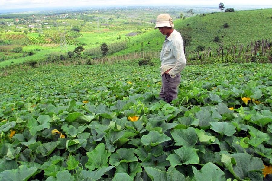 Gia Lai: Nông dân Kbang thất thu vì mùa bí không thuận lợi