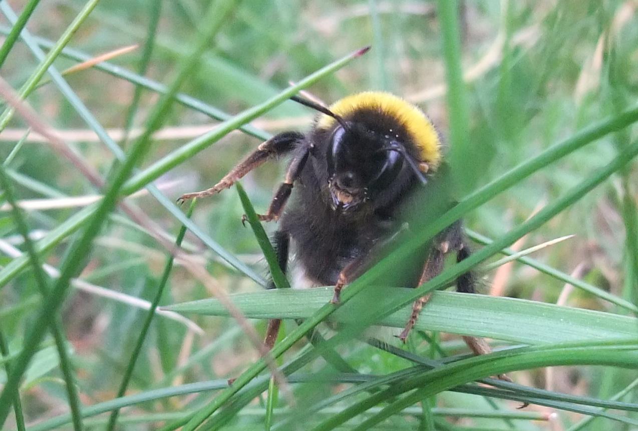 Buff Tailed Bumblebee Bombus Terrestris Posturing