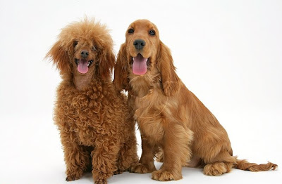 Golden Cocker Spaniel Pictures