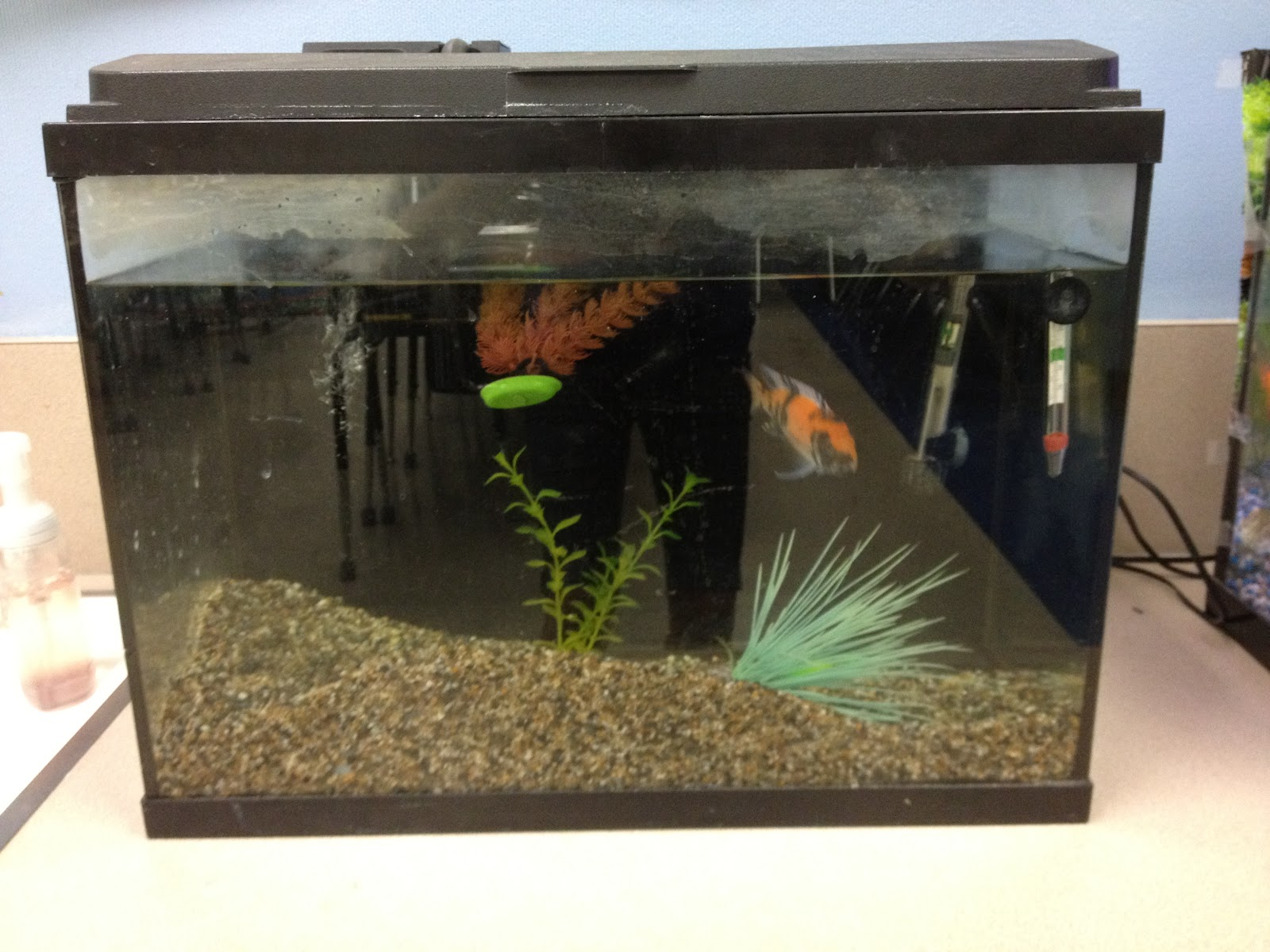 Fish aquarium jobs - Fish Are Great Because They Are Very Low Maintenance I Probably Do About 10 Minutes Of Work Per Month To Care For Them Because One Of Our Classroom Jobs