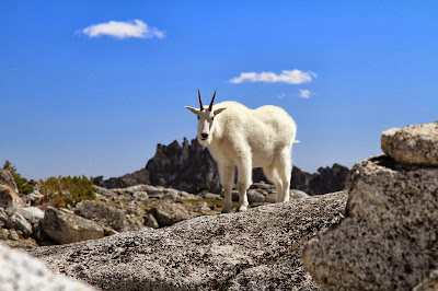 Oreamnos americanus - Mountain Goat at the Edge of Tranquil Lake