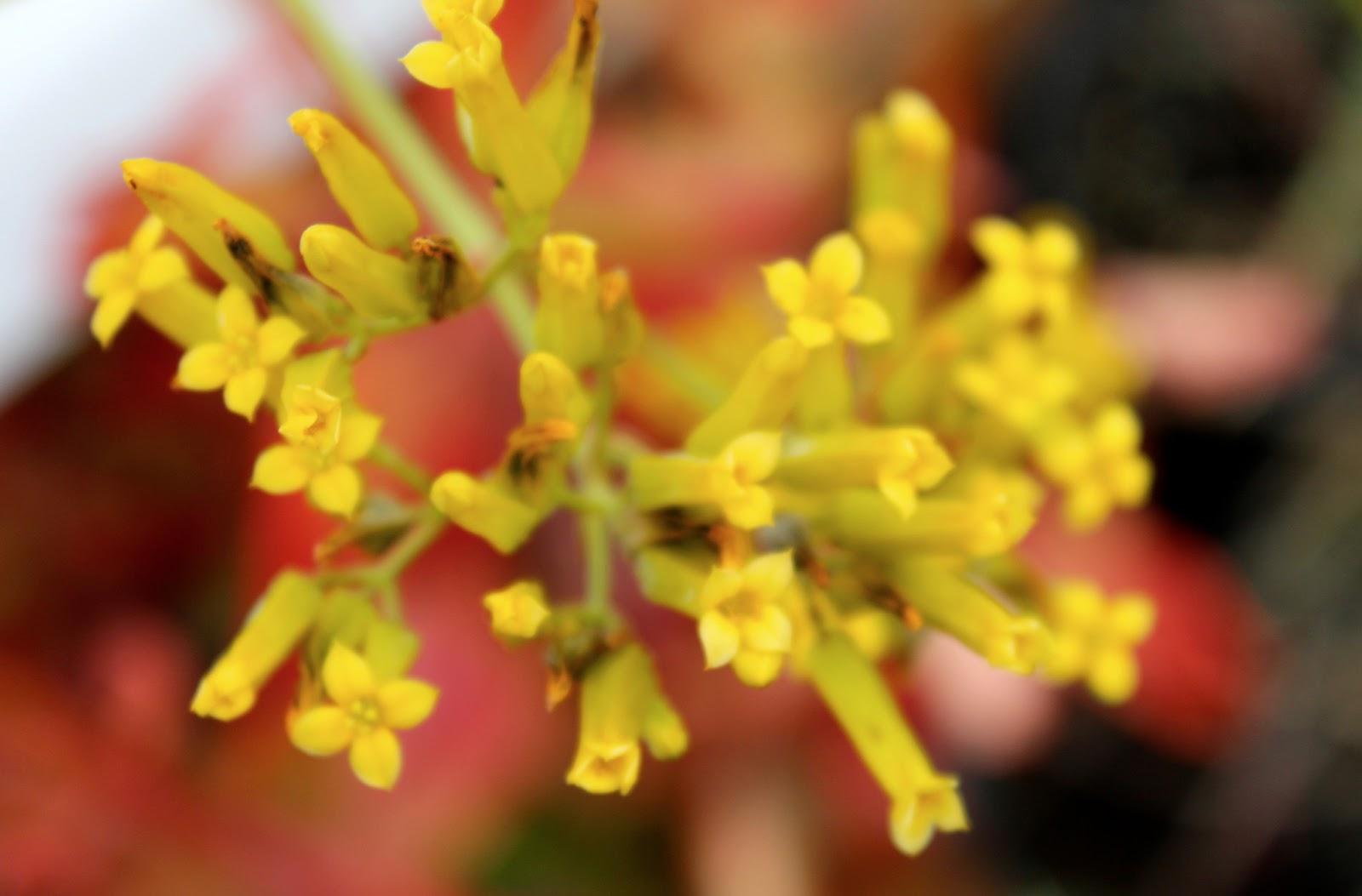 Yellow flowered shrub crossword clue choice image flower yellow flowered shrub crossword clue garden flower summer still yellow flowered shrub crossword clue florez nursery mightylinksfo
